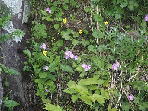 登山道のず~っと先の岩場に咲くハクサンコザクラ            ハクサンイワザクラかと見間違えました