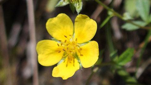 かつては登山口の岩壁にこのミツバツチグリが真っ黄色に染めていたが・・・・・今日はポツポツでした