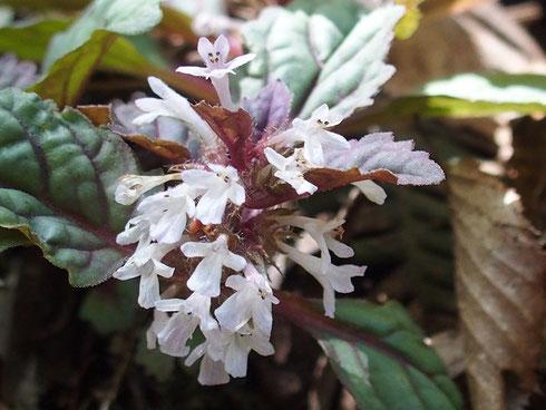 白花のニシキゴロモも咲いていた