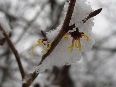 満開近くだったマンサクも雪の中で頑張っていた
