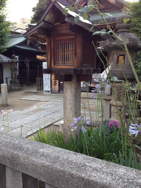 神社に咲いていたアガパンサス ここまで『和風』も珍しいですが、似合いますね。