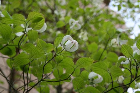 白く咲くハナミズキ