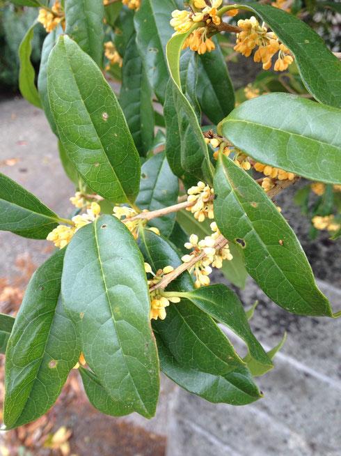 2度目に咲いたキンモクセイの花 一度目より少し色が薄いきがします