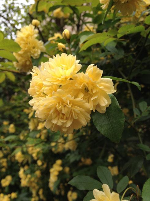 モッコウバラ 黄色