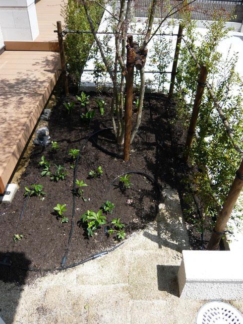 花壇の中に見える黒い管が、ドリップチューブです!