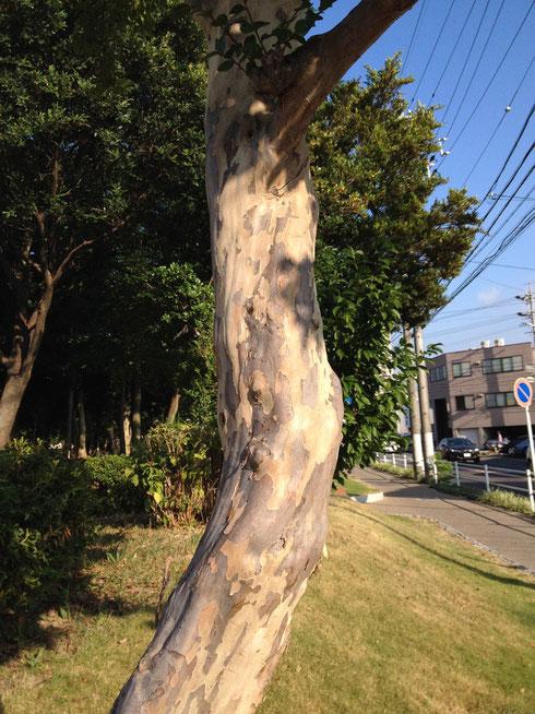 サルスベリの樹皮 つるつるしていて面白い