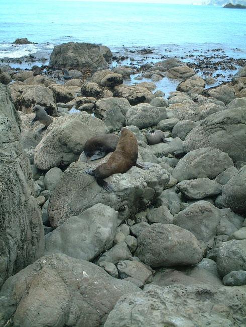 カイコウラの近くの海岸に普通に居るオットセイ
