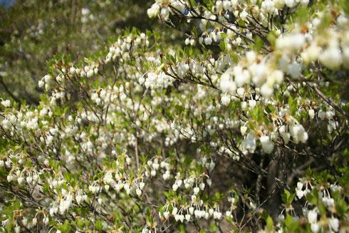 尾張旭の隠れ家的お庭 ドウダンツツジが見ごろです!