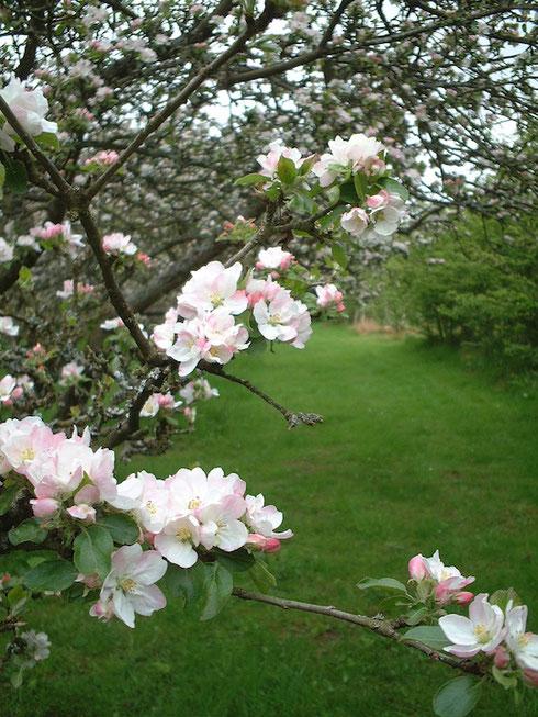 美しいリンゴの花。イギリスでもリンゴの花は咲く。