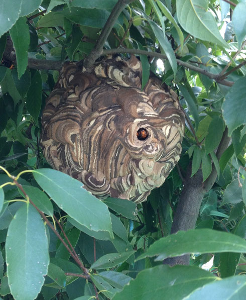 スズメバチの巣 よく見ると3匹くらい穴からこちらをうかがっている
