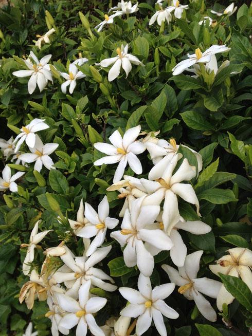 クチナシ 花がこれだけ咲いていると傍にいるだけでよい香りがします。