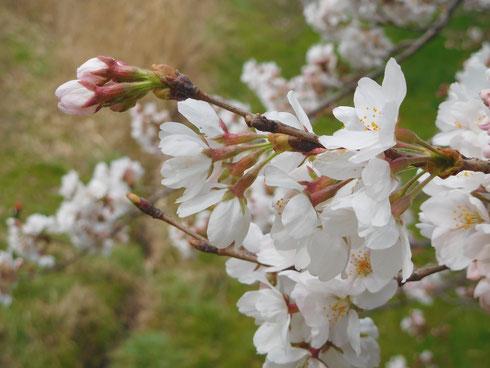 家の近所の野川土手のソメイヨシノ。五分咲きくらいでしょうか。