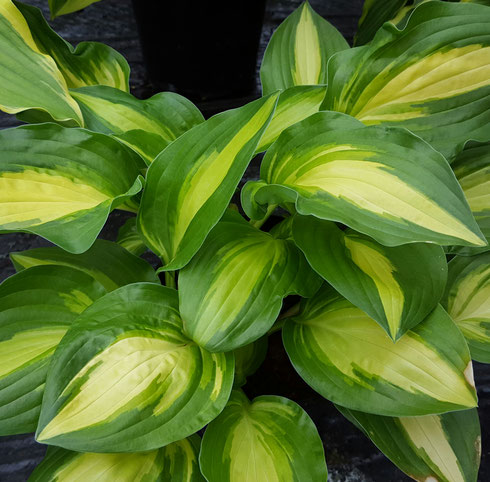 Hosta 'Sitting Pretty'