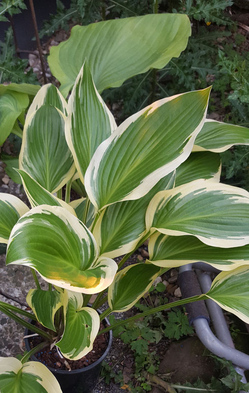 Hosta 'Framed'
