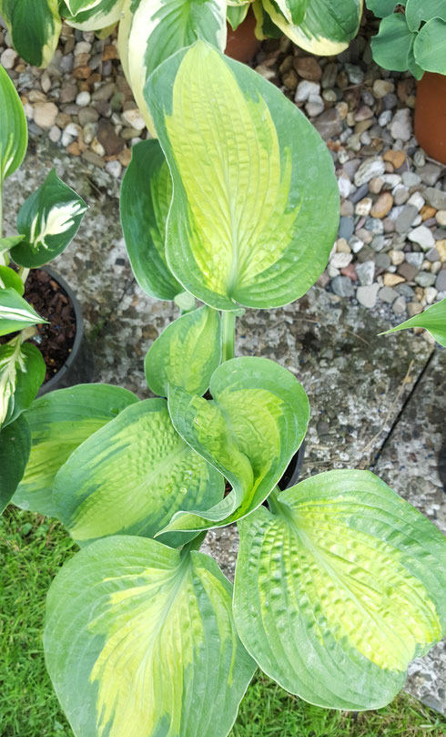Hosta 'Alligator Alley'