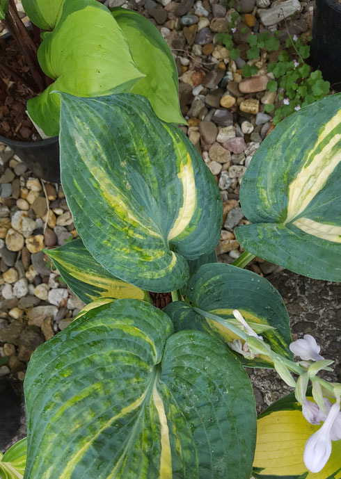 Hosta 'Ice Age Trail'