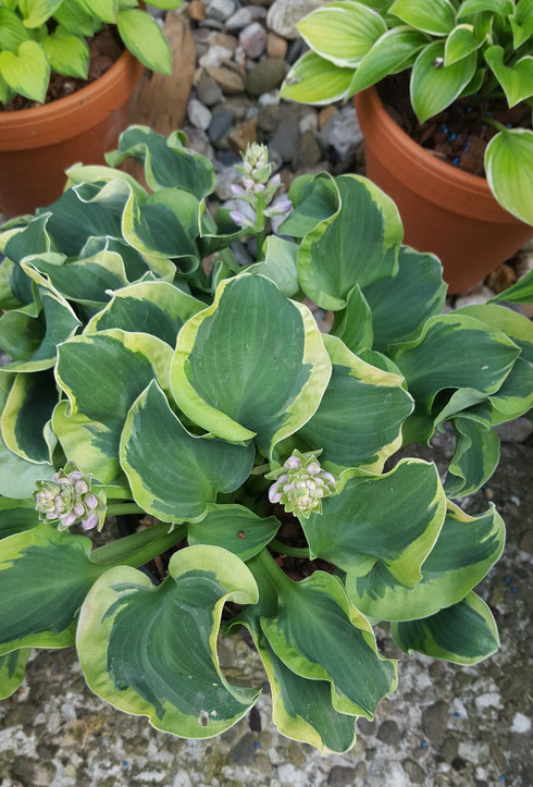Hosta 'Holy Mouse Ears'