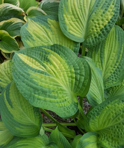 Hosta 'Pete's Passion'