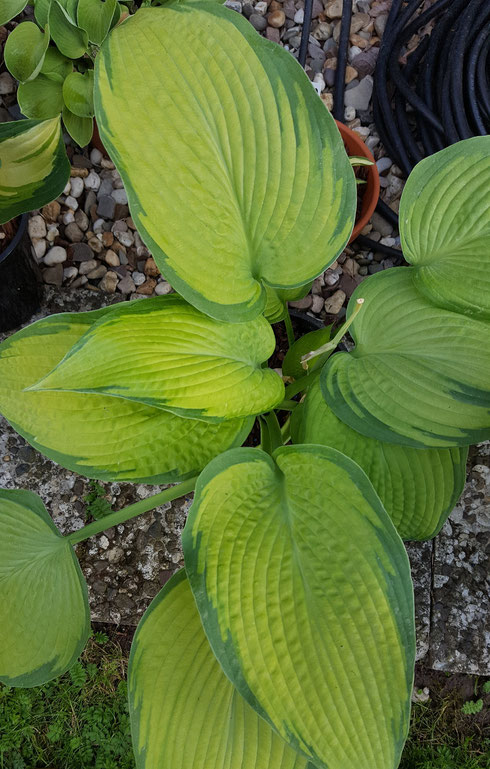 Hosta 'Inniswood'