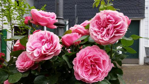Rosa 'Leonardo Davinci'