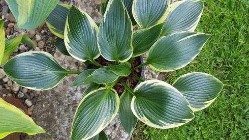 Hosta 'Silver Shadow'