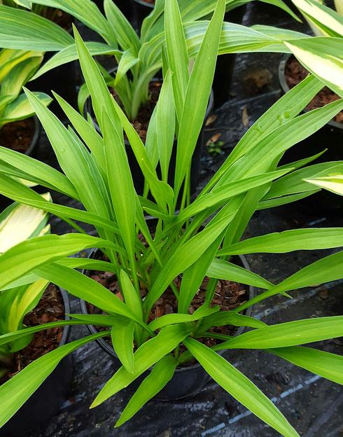Hosta longissima