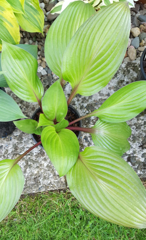 Hosta 'First Blush'