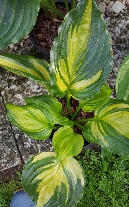 Hosta 'Rendevouz'