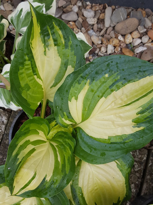 Hosta 'Almost Heaven'