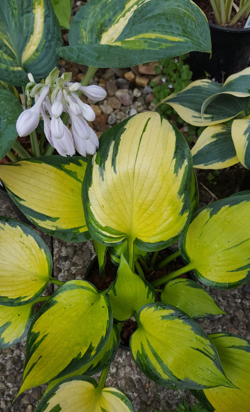 Hosta 'Orange Star'