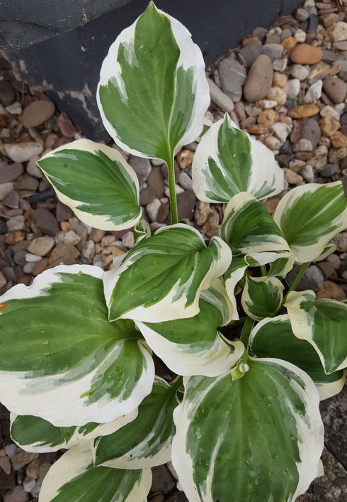 Hosta 'Diamonds are Forever'