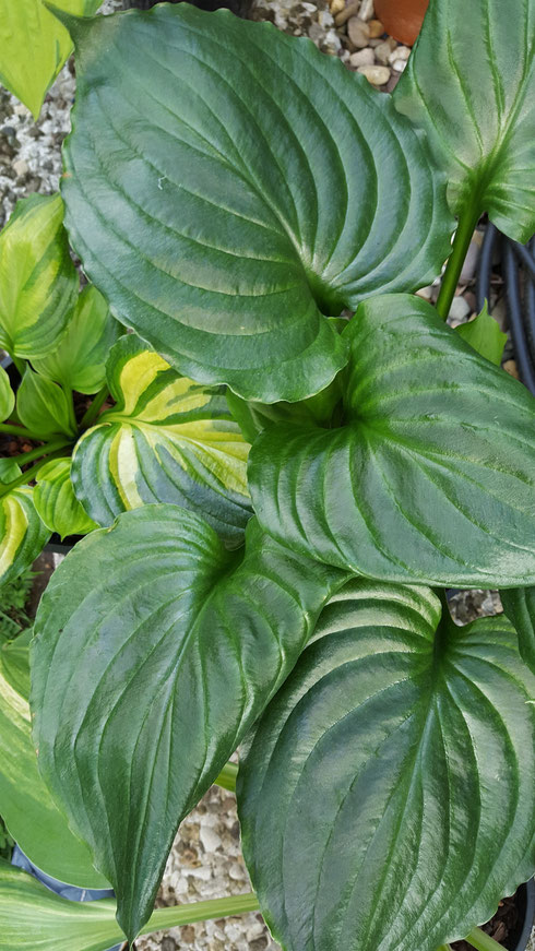 Hosta 'Lakeside Black Satin'