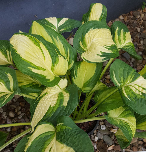 Hosta 'Nancy Minks'