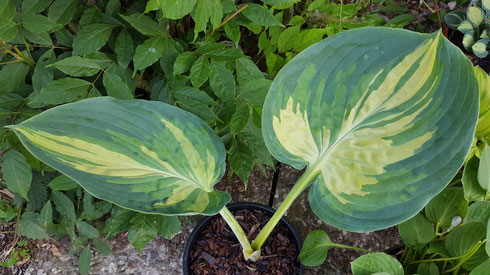 Hosta 'Simply Sharon'