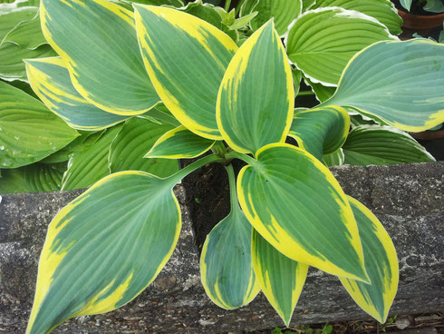Hosta 'Dress Blues'