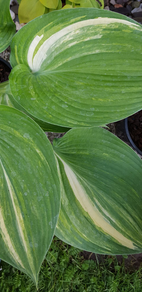 Hosta 'Confused Angel'