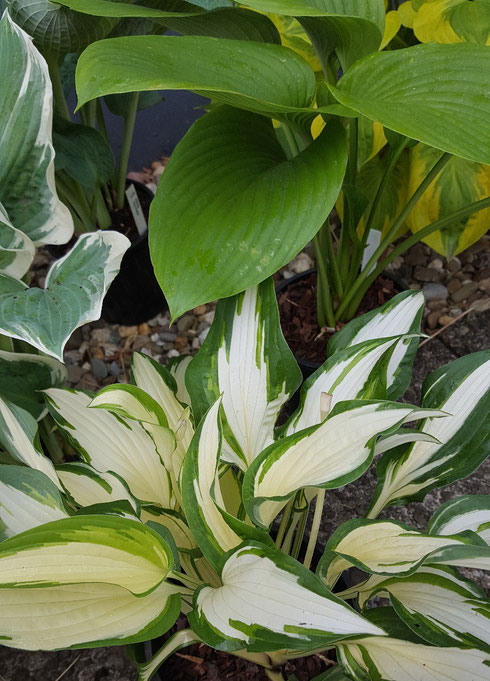 Hosta 'Christmas Cookies'