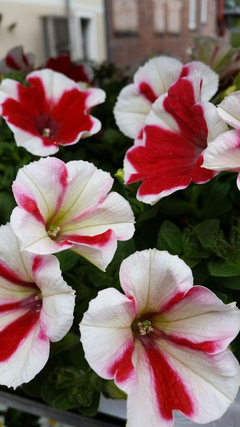 Petunia 'Surfinia'