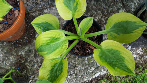 Hosta 'Glad Rags'