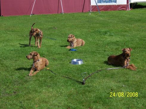 Irish Terrier am Anlegepflock