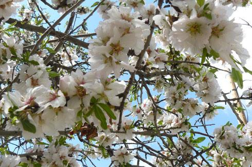 Mandelblüte in Jerusalem