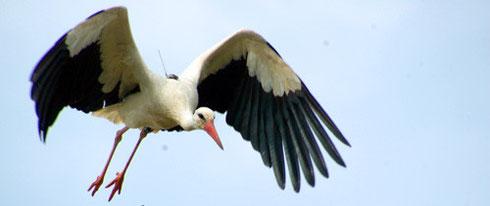Ein Storch auf Reisen
