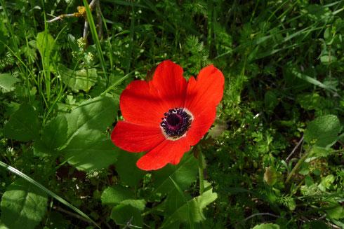 Die israelische Nationalblume: Kalanit