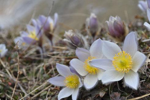 Die ersten Frühlingsgrüsse aufgenommen von Armin auf der Gruebi Alp.