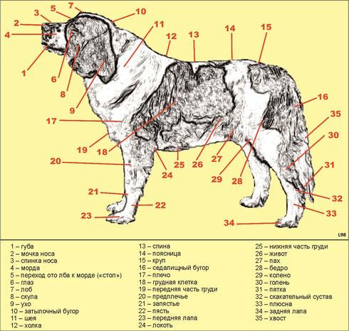 Стати собаки - московская сторожевая