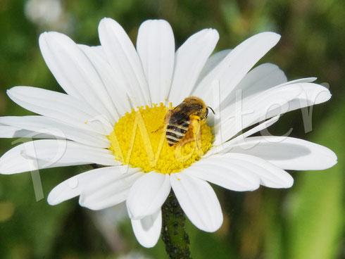 Bild: Seidenbienen-Weibchen, Colletes spec., an der Wiesen-Margerite