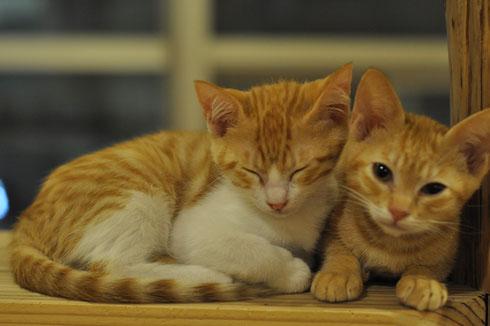 チョッピー・チャピコはその時の子猫で唯一生き残った子達です。その時の事を忘れないように。と言う思いも込めてレギュラーにゃんこになりました。