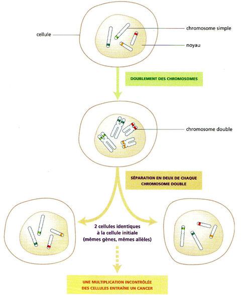 Mutliplication cellulaire (simplifiée) pour une cellule contenant 4 chromosomes. Cliquer pour agrandir.
