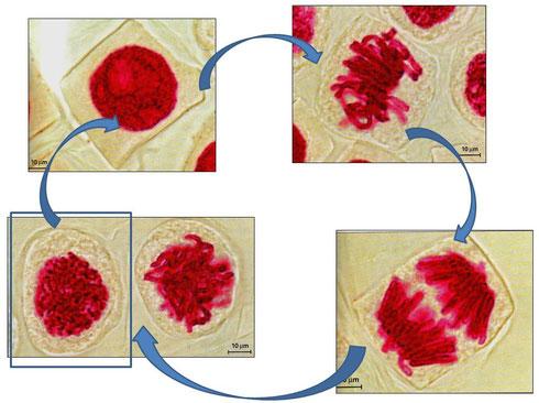 Microphotographies des principales étapes de la multiplication cellulaire.