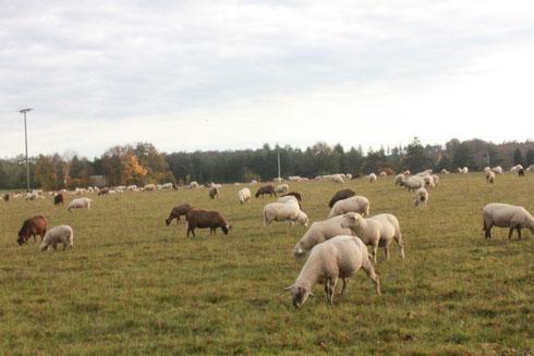 Schafe auf einer Wiese in der Nähe der Schäferei